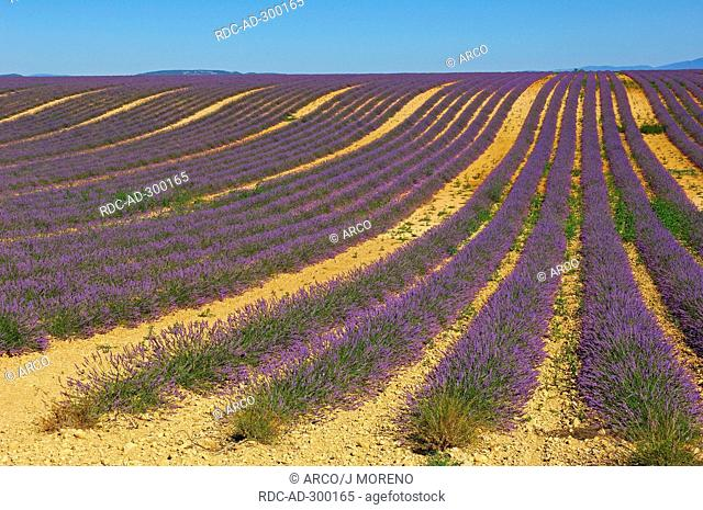 Lavender field, Plateau de Valensole, Alpes-de-Haute-Provence, Provence, France