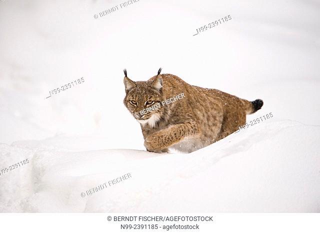 Lynx (Lynx lynx) stalking in deep snow, National Park Bayerischer Wald, Bavaria, Germany