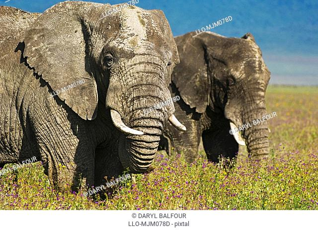 African Elephants Loxodonta africana in field of flowers in Ngorongoro Crater, Ngorongoro Conservation Area, Tanzania