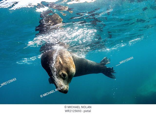 Adult California sea lion (Zalophus californianus) bull underwater at Los Islotes, Baja California Sur, Mexico, North America