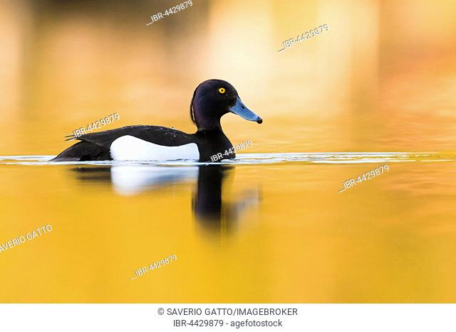 Tufted Duck (Aythya fuligula), adult male swimming in the water with golden reflections, Virkkula, Northern Ostrobothnia, Finland