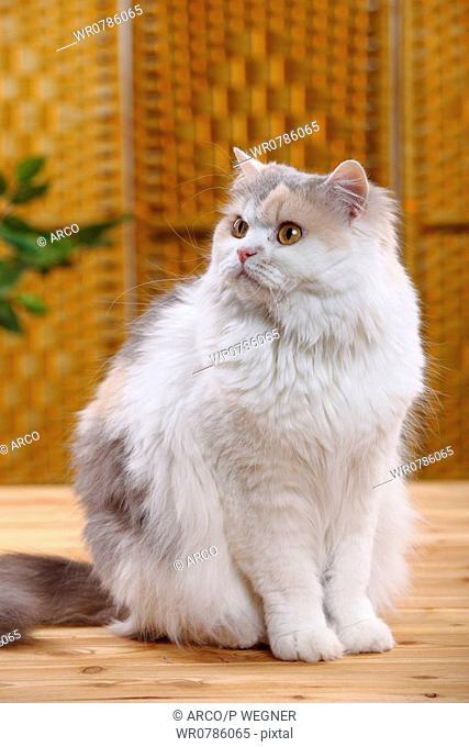 British Longhair Cat, blue-cream-white / Highlander, Lowlander, Britanica
