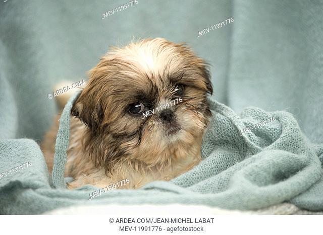 Shih Tzu Dog, puppy
