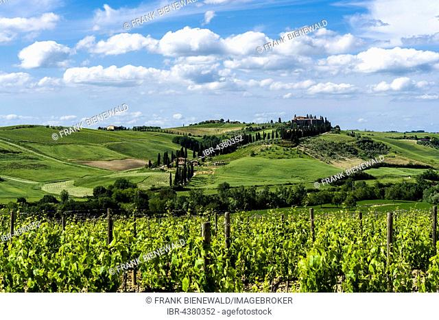 Typical green Tuscany landscape with a farm on a hill, wineyards, olive plantations, blue sky, Val d'Orcia, San Quirico d'Orcia, Tuscany, Italy