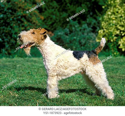 Wire-Haired Fox Terrier, Male standing on Lawn