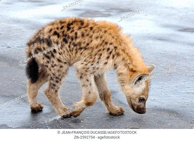 Spotted hyena (Crocuta crocuta), cub, walking on a wet road, sniffing, Kruger National Park, South Africa, Africa