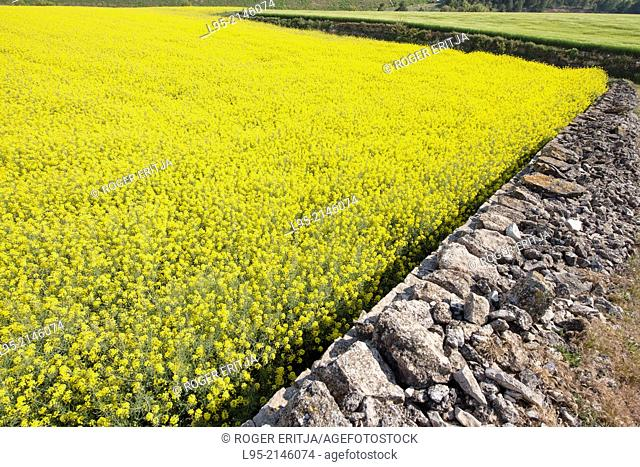 Traditional-type of wall building using stone without any concrete delimiting a Canola (or Colza) field in spring, Spain