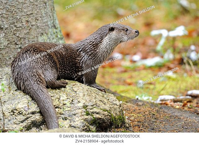 European otter (Lutra lutra) in the Bavarian forest, Germany