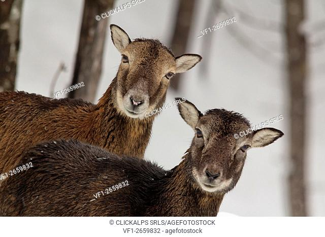 Pair female mouflon curious look between the trees on a winter morning in the Dolomites