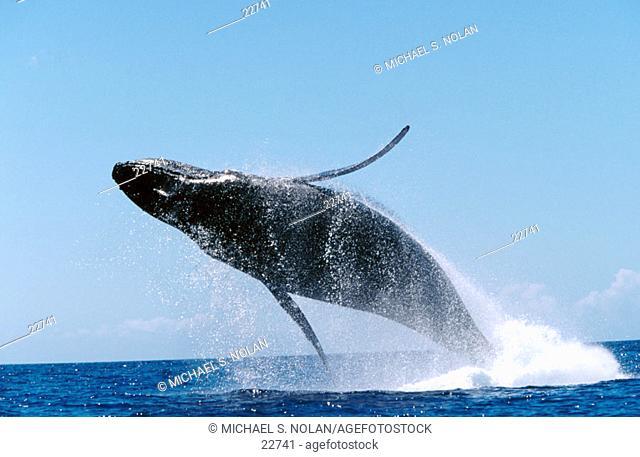 Adult Humpback Whale (Megaptera novaeangliae) breaching. Auau Channel. Maui. Hawaii