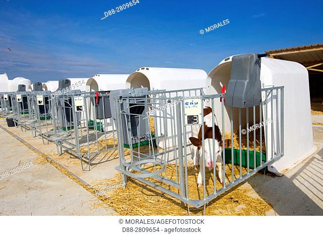 France, Haute Saone, new born veals in individual cages, calves
