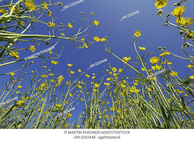 Meadow buttercup (Ranunculus acris) ground view. Bavaria, Germany, Europe