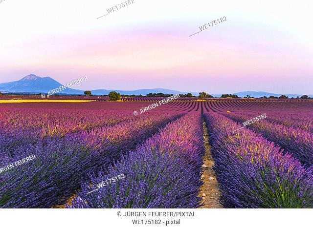 lavender fields at sunset time on the Plateau de Valensole, Provence, France, golden hour, intensive colour in evening light