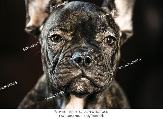 Close Up Eye Of Young Black French Bulldog Dog Puppy. Funny Dog Baby Looking At Camera