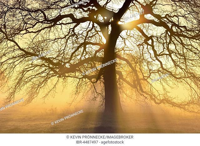 Kahle solitary oak tree, English oak (Quercus robur) with sunbeams, River Elbe Floodplains at sunrise, foggy atmosphere, Middle Elbe Biosphere Reserve