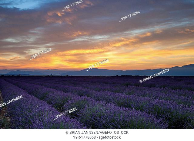 Lavender field Just before dawn near Valensole, Provence France