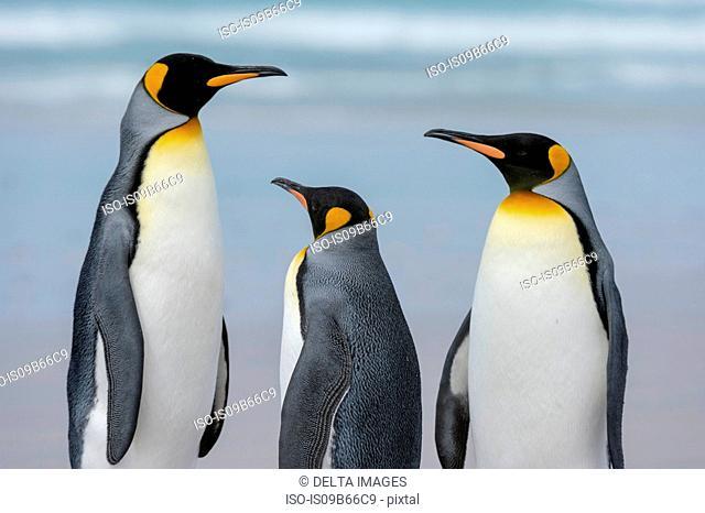 King penguins (Aptenodytes patagonica), on sandy beach, Port Stanley, Falkland Islands, South America