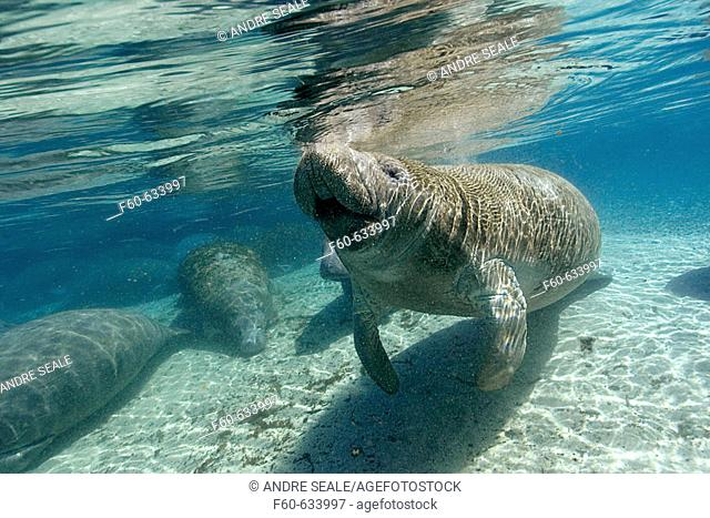 Florida manatee (Trichechus manatus latirostris), surfaces to breathe, Crystal River, Florida, USA