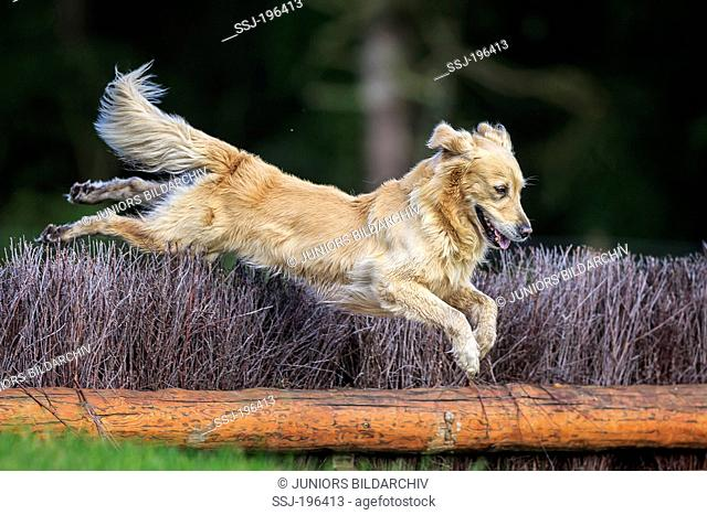Golden Retriever jumping over an obstacle in a cross-country course. Germany