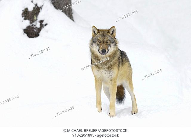 Grey Wolf in Winter, Canis lupus, Bavarian Forest National Park, Germany, Europe