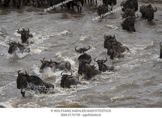 Wildebeests, also called gnus or wildebai, crossing the Mara River in the Masai Mara National Reserve in Kenya during their annual migration
