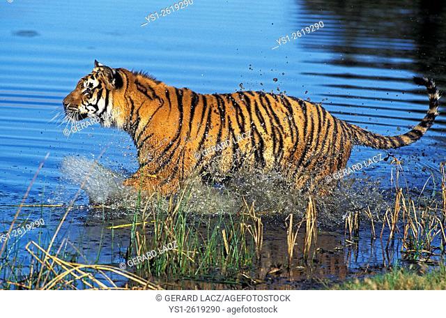 Bengal Tiger, panthera tigris tigris, Adult standing in Water