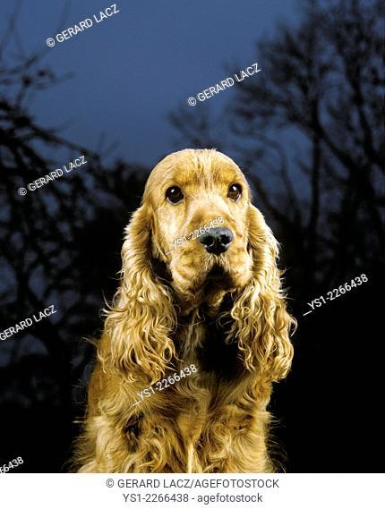 English Cocker Spaniel, Portrait of Dog