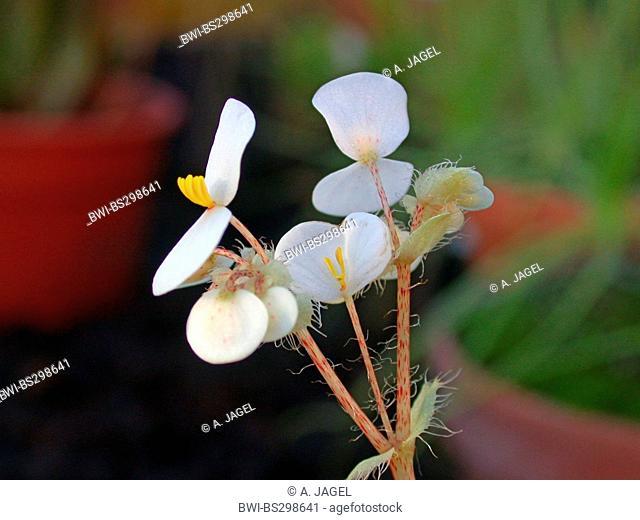 Eyelash Begonia, Tiger Paw Begonia (Begonia bowerae), flowers
