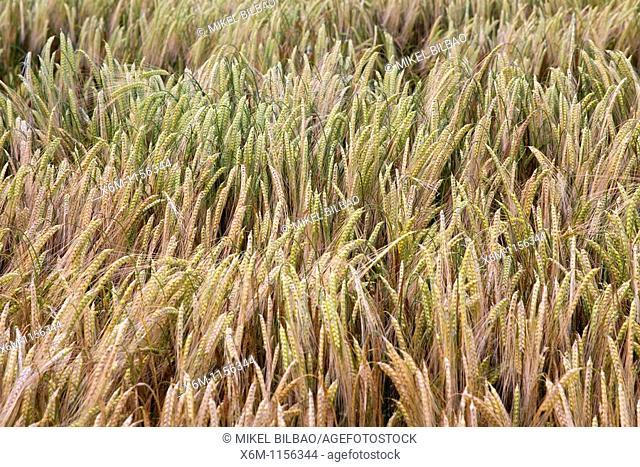 wheat plants Triticum spp on a wheat field  Murieta, Navarre, Spain, Europe