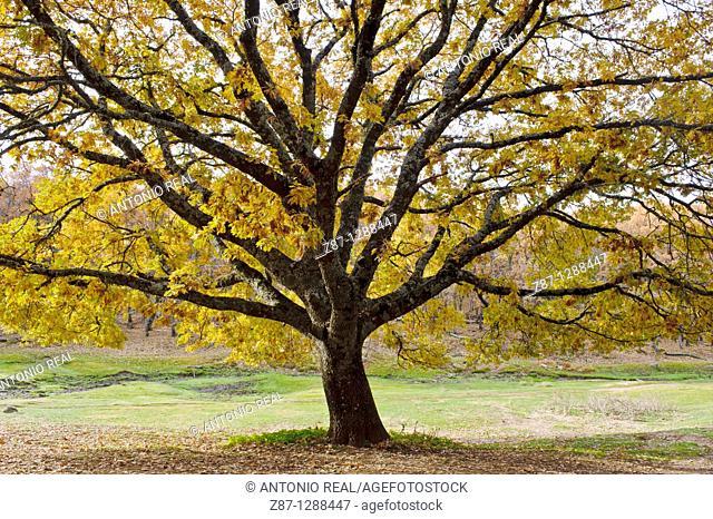 Pyrenean Oaks (Quercus pyrenaica), Sierra de San Vicente, Navamorcuende, Toledo province, Spain