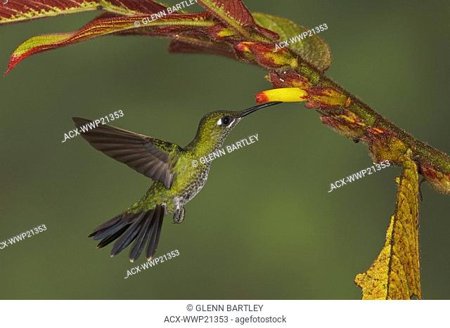 Green-crowned Brilliant Heliodoxa jacula feeding at a flower while flying in the Milpe reserve in northwest Ecuador