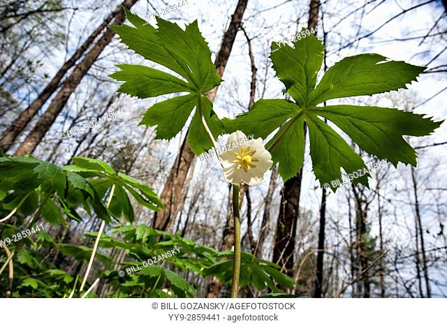 Mayapple (Podophyllum peltatum) - Holmes Educational State Forest, Hendersonville, North Carolina, USA