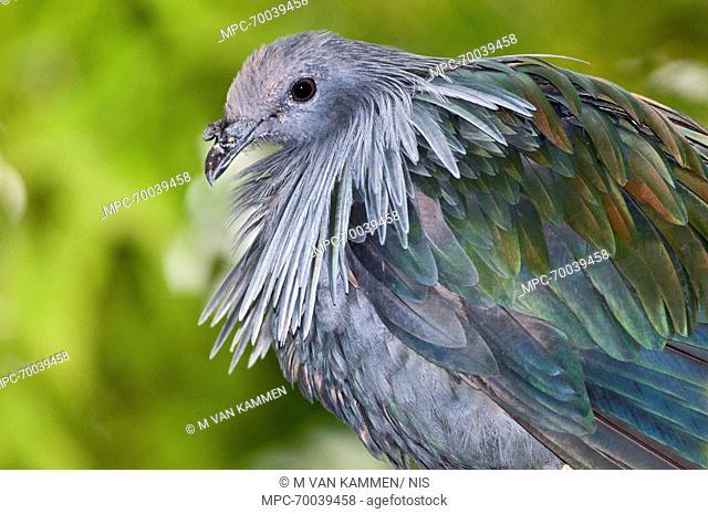 Nicobar Pigeon (Caloenas nicobarica), Papua New Guinea