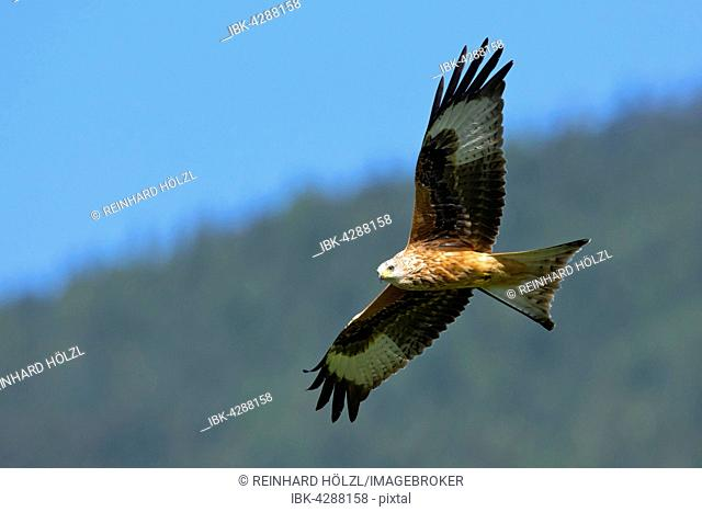 Red Kite (Milvus milvus), flying, Weerberg, Tyrol, Austria