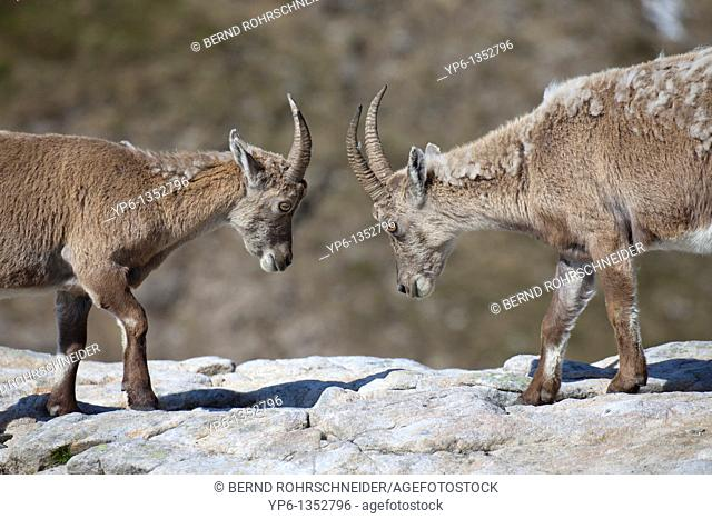 2 fighting Alpine Ibexes Capra ibex standing on rock, Niederhorn, Bernese Oberland, Switzerland