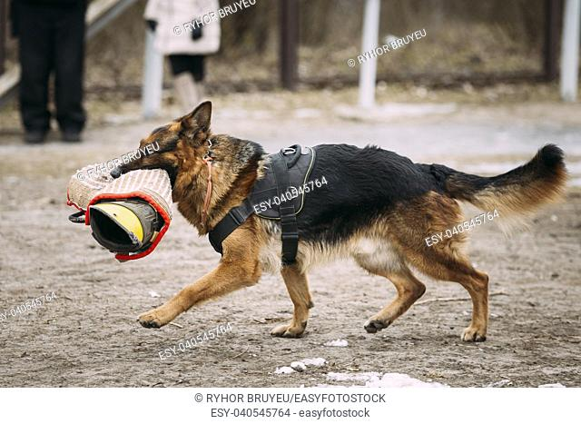 Training Of Purebred German Shepherd Young Dog Or Alsatian Wolf Dog Walk With Special Sleeve. Attack And Defence Training