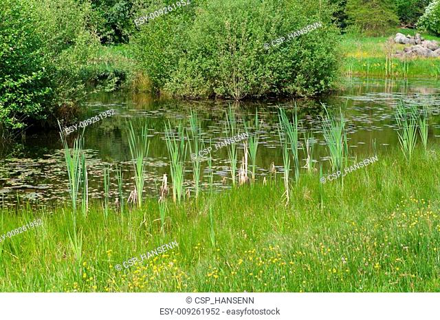 reed in a pond