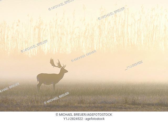 Fallow Deer (Cervus dama) on misty morning, Hesse, Germany, Europe