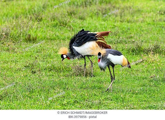 Grey Crowned Cranes (Balearica regulorum), Ngorongoro, Tanzania
