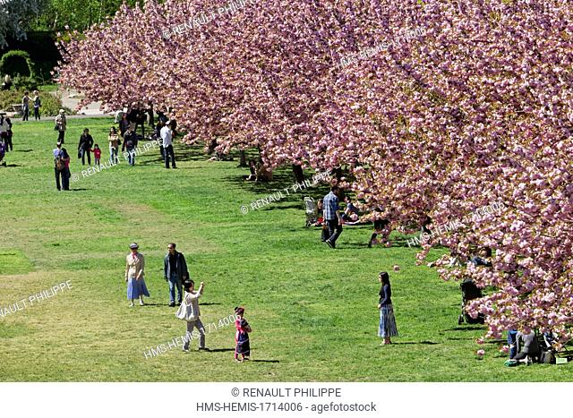 United States, New York, Brooklyn, the Botanical Garden, Cherry Blossom, spring flowering of cherry Prunus Kanzan trees