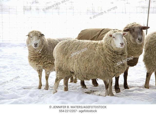 Sheep in the snow in mid-winter, Washington State, USA