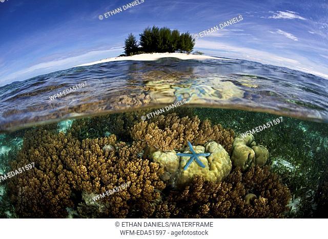 Blue Seastar on Coral Reef, Linckia laevigata, Raja Ampat, West Papua, Indonesia
