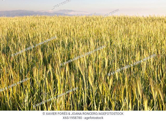 Wheat crops in Natural Park of Els Gallecs, Mollet del Vallés, Barcelona, Spain