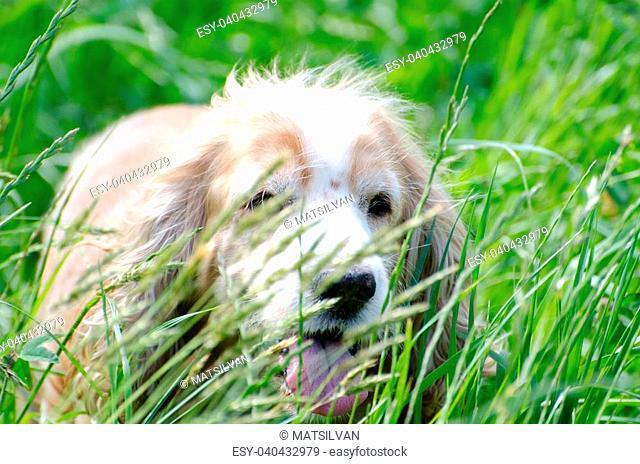 Cocker spaniel dog in the green grass