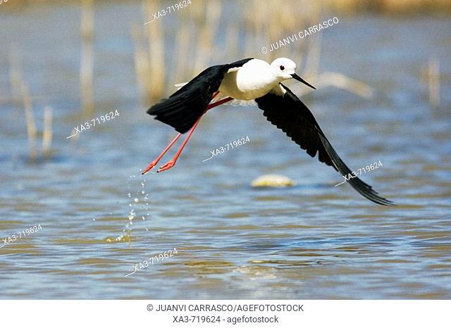 Black-winged Stilt (Himantopus himantopus) flying. Almeria province, Andalucia, Spain
