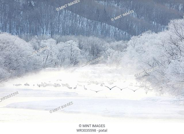 Flock of Red-Crowned Cranes, Grus japonensis, in woodland in winter