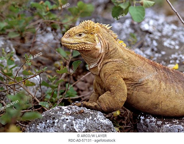 Land Iguana Galapagos Islands Ecuador Conolophus subcristatus