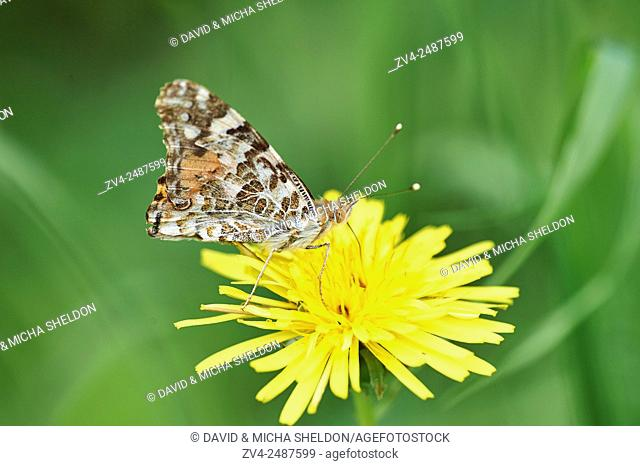 Close-up of a Painted Lady (Vanessa cardui) sitting on a common dandelion (Taraxacum officinale) in early summer