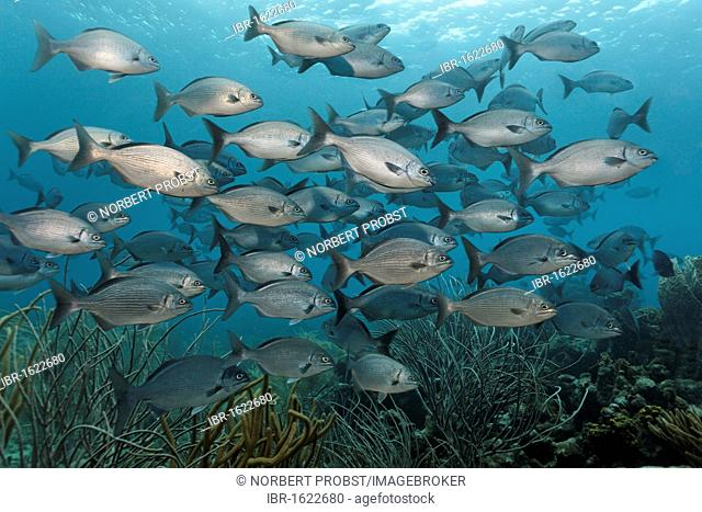 Shoal of Yellow or Bermuda Sea Chub (Kyphosus sectatrix incisor), swimming above a coral reef, Little Tobago, Speyside, Trinidad and Tobago, Lesser Antilles