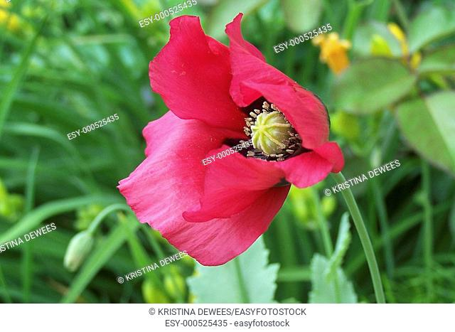 A single hot pink annual Poppy